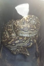 See The Scary Snakes Twitter User Found In Her Office(Photos)