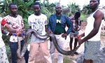Panic In Maryland As Residents Kill Three 30 Foot Pythons In One Day