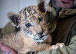Rare Lion-Tiger Hybrid Born In Russian Zoo
