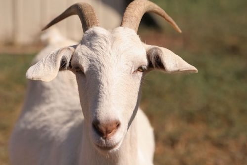 New Zimbabwean Law Mandates Banks To Accept Goats, Cows As Collateral