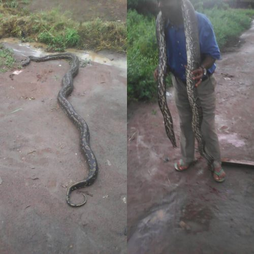 Huge Python Killed In Ikorodu  Today