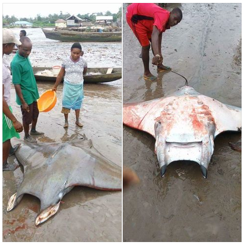 Manta Ray: See The Huge Fish Caught By Residents In Bayelsa State
