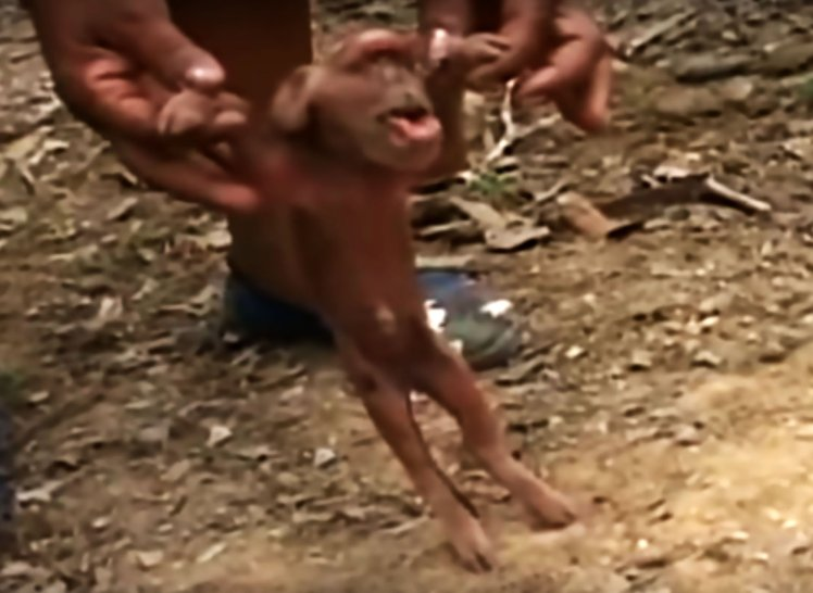 See New Born Pig That Looks Like A Monkey