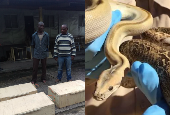 2 Arrested Smugglers Of Imported Snakes Disappear From Custody